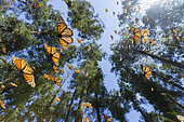 Monarch butterfly (Danaus plexippus), in wintering from November to March in oyamel pine (Abies religiosa) forest, Sierra Chincua, Monarch Butterfly Biosphere Reserve, Angangueo, State of Michoacan, Mexico