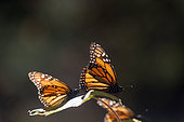Monarch butterfly (Danaus plexippus), in wintering from November to March in oyamel pine (Abies religiosa) forest, butterflies gathering nectar, El Rosario, Reserve of the Biosfera Monarca, Angangueo, State of Michoacan, Mexico