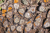 Monarch butterfly (Danaus plexippus), Butterflies died during the wintering period from November to March in oyamel pine (Abies religiosa) forest, butterflies gathering to drink water and take up mineral, El Rosario, Reserve of the Biosfera Monarca, Angangueo, State of Michoacan, Mexico