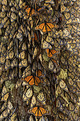 Monarch butterfly (Danaus plexippus), In wintering from November to March in oyamel pine forests (Abies religiosa), El Rosario, Reserve of the Biosfera Monarca, Angangueo, State of Michoacan, Mexico