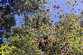 Monarch butterfly (Danaus plexippus), in wintering from November to March in oyamel pine (Abies religiosa) forest, El Rosario, Reserve of the Biosfera Monarca, Angangueo, State of Michoacan, Mexico