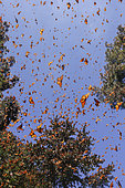 Monarch butterfly (Danaus plexippus), in wintering from November to March in oyamel pine (Abies religiosa) forest, Sierra Chincua, Reserve of the Biosfera Monarca, Angangueo, State of Michoacan, Mexico