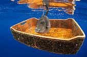 Cordage immergé dans la mer, Pollution des océans, Curieusement, certains déchets deviennent un refuge pour certaines espèces comme ce Baliste cabri (Balistes capriscus).. Photo prise au large des côtes de Tenerife. Ces déchets sont pour la plupart apportés par les vents alizés et le courant du Golf