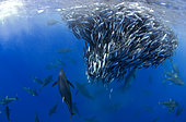 Yellowfin Tunas (Thunnus albacares) hunting Atlantic chub mackerels (Scomber colias), Tenerife, Canary Islands.