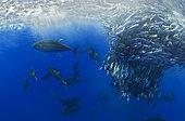 Yellowfin Tunas (Thunnus albacares) eating Atlantic chub mackerel (Scomber colias), Tenerife, Canary Islands.