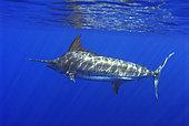 Atlantic blue marlin (Makaira nigricans), Tenerife, Canary Islands.