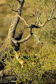 Chacal à chabraque (Canis mesomelas) dans le désert du Kalahari, Kgalagadi, Afrique du Sud
