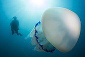 Diver and Large Jellyfish (Rhizostoma pulmo), Marine Protected Area of the Agathois Coast, France