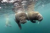 Pair of Atlantic walrus (Odobenus rosmarus), Spitsbergen, Svalbard, Norwegian archipelago, Norway, Arctic Ocean