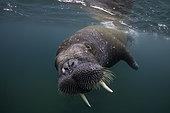 Atlantic walrus (Odobenus rosmarus), Spitsbergen, Svalbard, Norwegian archipelago, Norway, Arctic Ocean