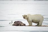 Polar bear (Ursus maritimus) eating a walrus (Odobenus rosmarus), on the ice, Spitsbergen, Svalbard, Norwegian archipelago, Norway, Arctic Ocean