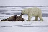 Polar bear (Ursus maritimus) puling the skin of a dead walrus (Odobenus rosmarus), on the ice, Spitsbergen, Svalbard, Norwegian archipelago, Norway, Arctic Ocean