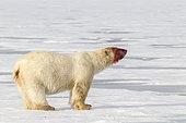 Polar bear (Ursus maritimus) on ice with bloody face, Svalbard, Norwegian archipelago, Arctic Ocean.
