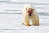 Polar bear (Ursus maritimus) walking on ice with bloody face, Svalbard, Norwegian archipelago, Arctic Ocean.
