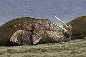 Atlantic walrus (Odobenus rosmarus) sleeping, Spitsbergen, Svalbard, Norwegian archipelago, Norway, Arctic Ocean