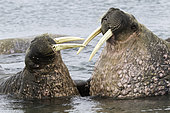 Pair of Atlantic walrus (Odobenus rosmarus), one adult and one younger playing with their tusks, Vulnerable (IUCN), Spitsbergen, Svalbard, Norwegian archipelago, Norway, Arctic Ocean