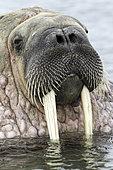 Portrait of Atlantic walrus (Odobenus rosmarus) with its most prominent feature the long tusks, Spitsbergen, Svalbard, Norwegian archipelago, Norway, Arctic Ocean