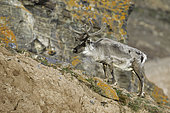 Svalbard reindeer (Rangifer tarandus platyrhynchus) is a reindeer subspecies found on Spitsbergen, Svalbard, Norwegian archipelago, Norway, Arctic Ocean