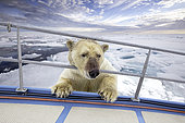 Polar bear inspects a boat from the ice, Spitsbergen, Svalbard, Norwegian archipelago, Norway, Arctic Ocean