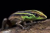 Striped forest whiptail( Kentropyx calcarata)