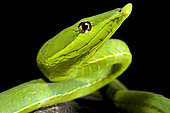 South American green vine snake (Oxybelis fulgidus)