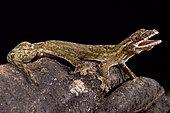 Giant turnip-tailed gecko, Thecadactylus rapicauda