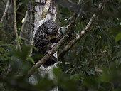 Gray's Bald-faced Saki (Pithecia irrorata), Amazonas, Brazil, June