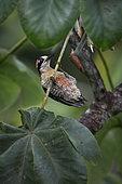 Black-cheeked woodpecker (Melanerpes pucherani), female, hanging from cecropia tree branch, Panama, July