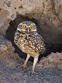 Burrowing Owl (Athene cunicularia), in front of burrow, Mato Grosso, Brazil, June