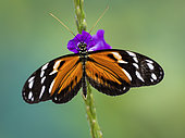 Heliconia spp. butterfly on verbena flower, Gamboa, Panama, february