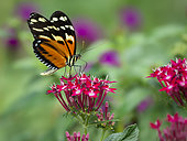 Heliconius ssp. butterfly, Panama, February