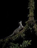 Central American Cacomistle (Bassariscus sumichrasti), on mossy branch, Chiriquí, Panama, December
