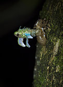 Cicada emerging from exoeskeleton at night, Valle de Antón, Panama, July