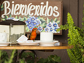 Flame-colored Tanager (Piranga bidentata), male on coffee-shop table, Chiriquí, Panama, March