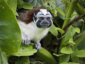 Geoffroy's Tamarin (Saguinus geoffroyi), lake Gatun, Panama