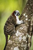 Geoffroy's tamarin (Saguinus geoffroyi), Gamboa, Panama, December