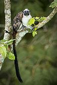 Geoffroy's tamarin (Saguinus geoffroyi), Gamboa, Panama, November