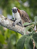 Geoffroy's Tamarin (Saguinus geoffroyi), Gamboa, Panama