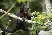 Mantled Howler monkey (Alouatta palliata), showing infestation by a Botfly (Cuterebra baeri), Gamboa, Panama, November