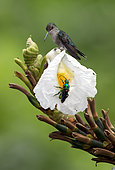 Crowned Woodnymph (Thalurania colombica), female on flower with green wasp, Panama, july