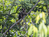 Maués Marmoset (Mico mauesi), Amazonas, Brazil, June