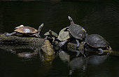 Meso-American Slider (Trachemys venusta), Group on a submerged trunk, Panama