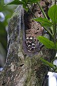 Panamanian Night Monkeys (Aotus zonalis), pair in roosting hole, Gamboa, Panama, July