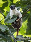 Pied Tamarin (Saguinus bicolor), Manaus, Amazonas, Brazil