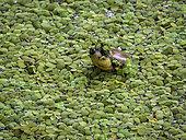 Arrau River Turtle (Podocnemis expansa) under water lentils, Amazonas, Brazil, June