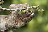 Brown-throated Three-toed Sloth (Bradypus variegatus), feeding on fruit, Gamboa, Panama