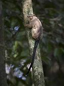 Snethlage's Marmoset (Mico emiliae), Mato Grosso, Brazil, June
