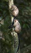 Snethlage's Marmoset (Mico emiliae), pair, Mato Grosso, Brazil, June