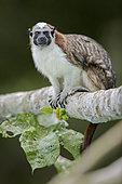 Geoffroy's Tamarin (Saguinus geoffroyi), Gamboa, Panama, July