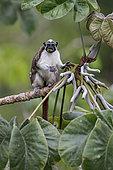 Geoffroy's Tamarin (Saguinus geoffroyi), feeding on Cecropia tree fruit, Gamboa, Panama, July